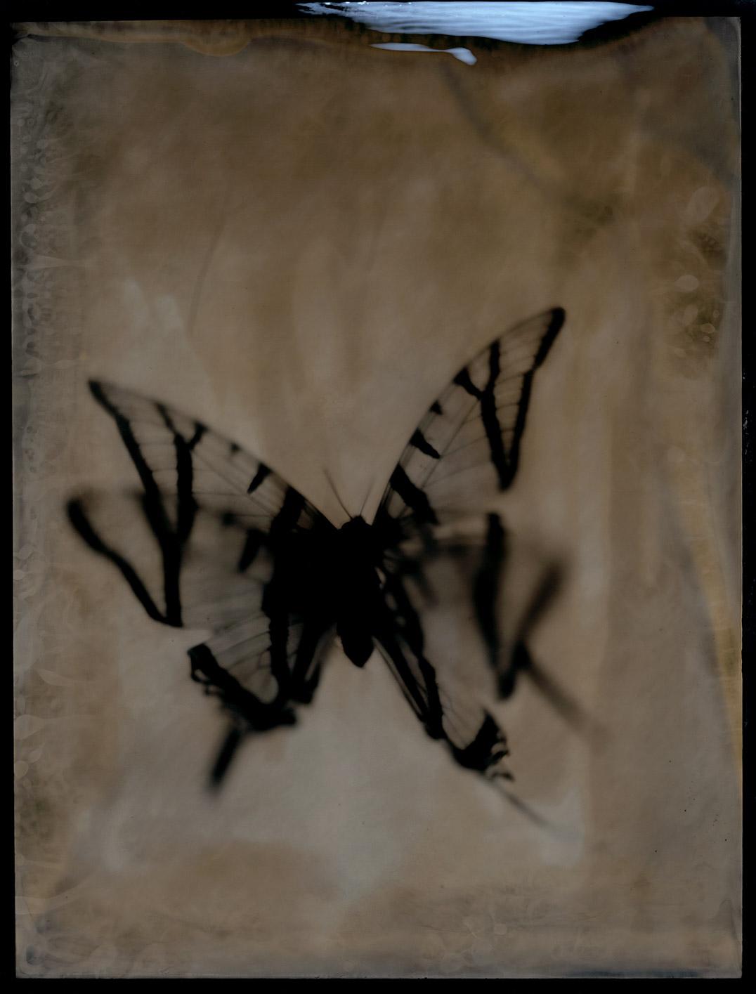 Swallowtail's Flight